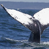 "Some 30 years ago, researchers realized that humpback whales (Megaptera novaeangliae) could be individually recognized on the patterns on the underside of their flukes. Many humpbacks received a name and have been followed as individuals ever since. I was not able to retrieve the name of this individual, but I did find it back on 2 other websites (unfortunately without naming the whale). Check it out for yourself on <a href=""http://www.whalewatchersnovascotia.ca/"">http://www.whalewatchersnovascotia.ca/</a> (big picture on the homepage) and on <a href=""http://www.novascotiarealestate.org/"">http://www.novascotiarealestate.org/</a> (little picture left under ""did you know"""