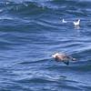 Great Shearwaters (Puffinus gravis) - grote pijlstormvogel