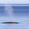 fin whale (Balaenoptera physalus) - gewone vinvis - have a typical white mark on the right side of their heads (the chevron) - biologists believe this is used to herd prey