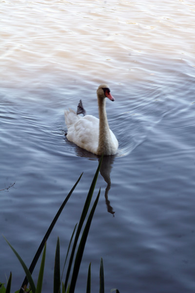 Canadian swan (notice its back leg is hanging wrong.)