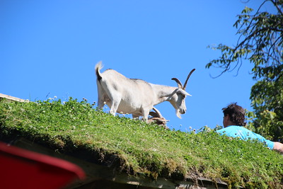 Day 11 - from Victoria to Tofino - Nanaimo Bar, goats on roof, traffic jam on return (day 14)