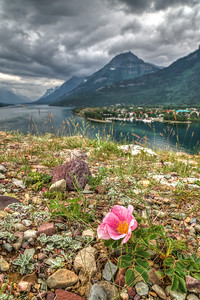 Wild Rose, Waterton