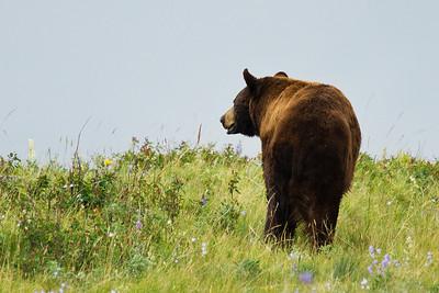 Black Bear walking away