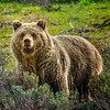 Grizzly Bear look 09351-Edit