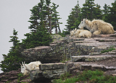 Resting Mountain Goat