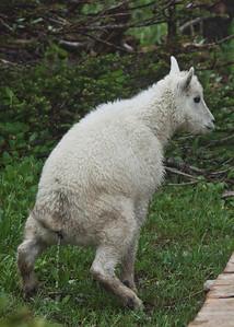Mountain Goat Kid reliefing itself