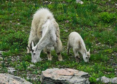 Mountain Goat feeding