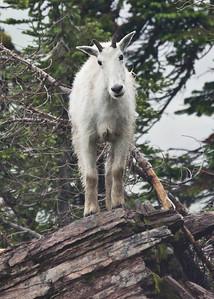 Mountain Goat pose