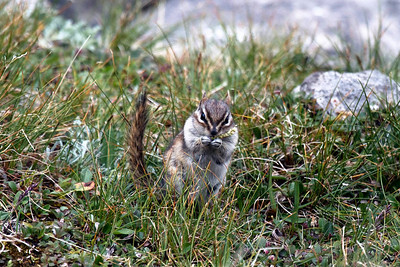 Chipmunk Ptarmigan Cirque outside Calgary