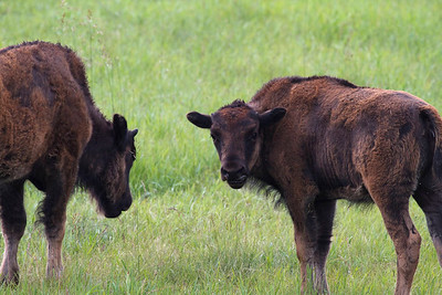 Bison outside Calgary