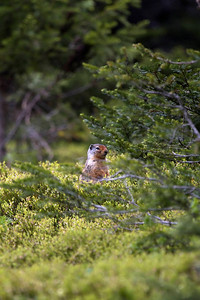 I'm not sure what this animal is - I think its too big to be a ground squirrel.  Its at Ptarmigan Cirque outside Calgary