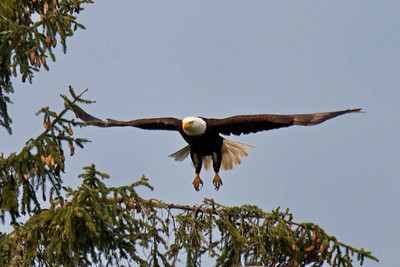 Bald eagle takes flight, off Vancouver Island