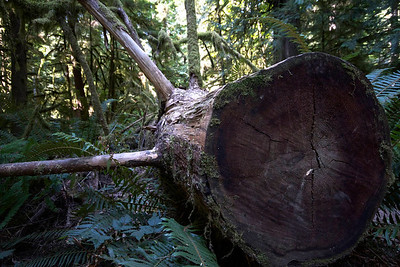 Cathedral Grove (of giant Douglas Firs), Vancouver Island