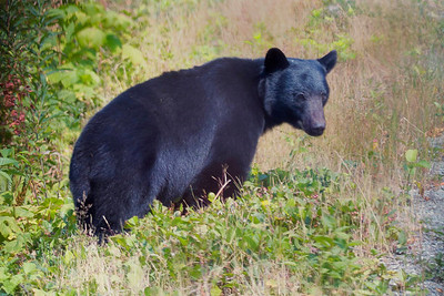 Bear (taken through a bus window), Vancouver Island