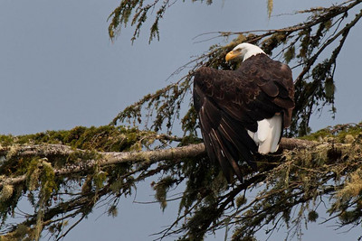 Evil bald eagle, thinking its in a Victorian melodrama, wraps his feathery cloak around himself