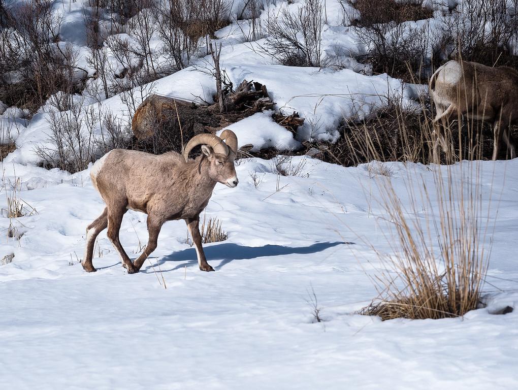 Mountain Sheep Ram