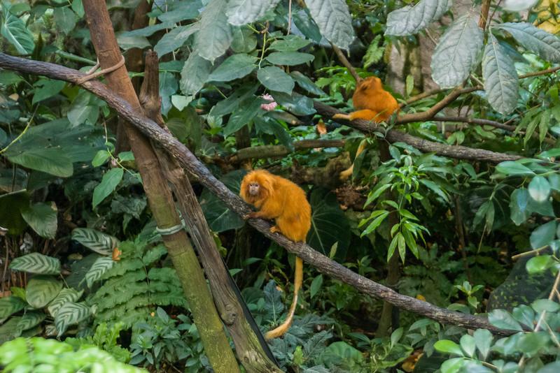 Goldern Lion Tamarin Monkeys, Biodome de Montreal.