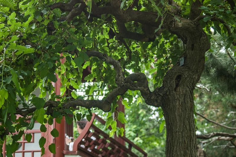 Twisty tree limbs, Montreal Botanical Gardens.