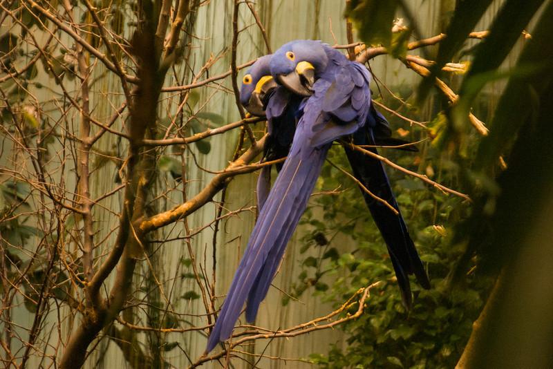 Indigo Macaw love birds, Biodome de Montreal.
