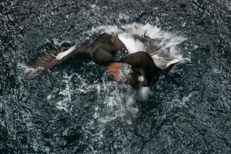 Two arctic birds fighting, Biodome de Montreal.