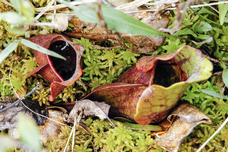 Pitcher plants in a bog. Cape Breton.