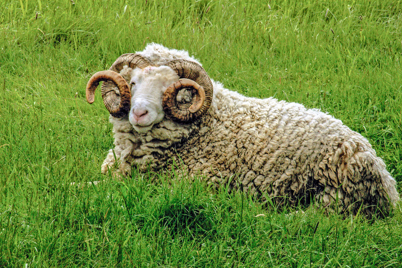 A sheep relaxing at the Fortress of Louisbourg National Historic Site
