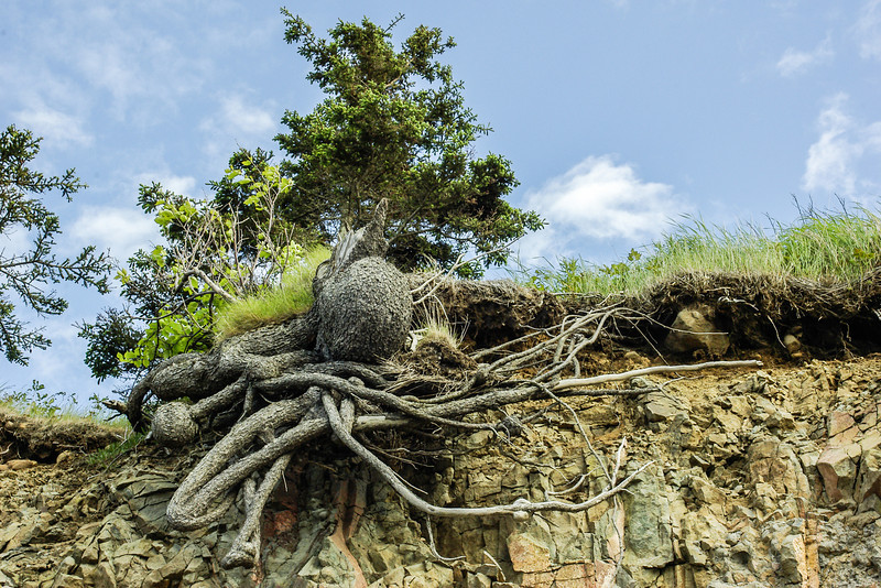 Beware the Octopus Roots<br /> Beach Side Port George on the Bay of Fundy, Nova Scotia, Can