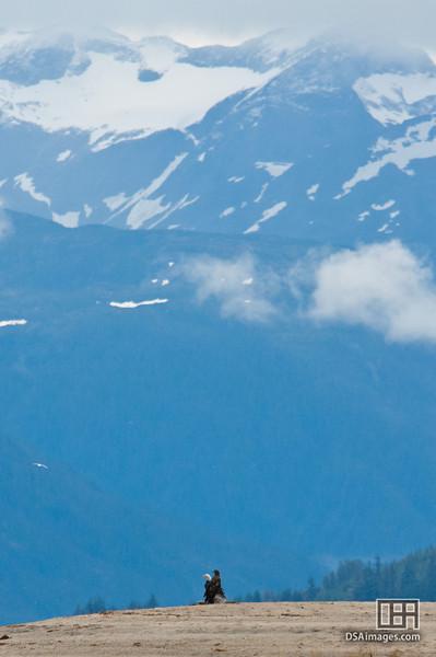 Bald Eagles near Lutak Inlet