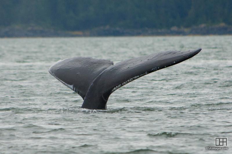 Humpback Whale in Auke Bay