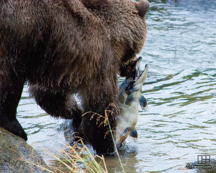 Grizzly Bear by Chilkoot River