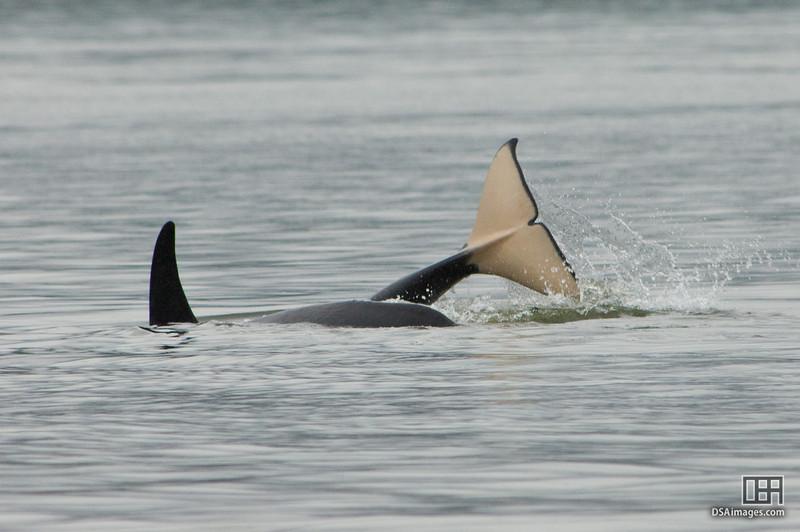 Orca (Killer Whale) in Auke Bay