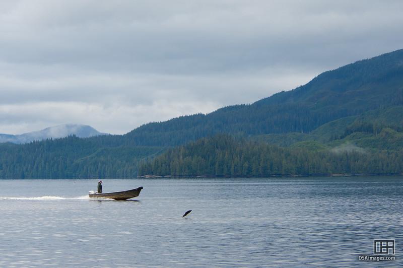 Jumping salmon at Neets Bay