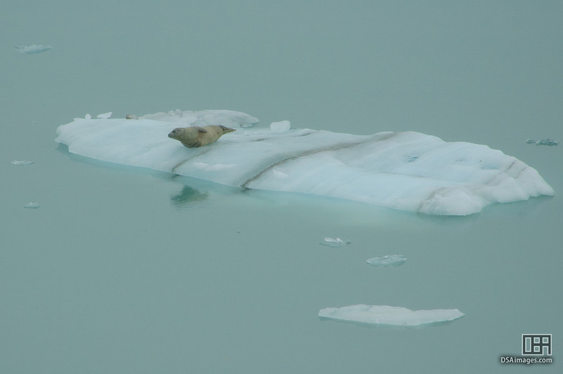 Seal on floating ice in Tarr Inlet, Glacier Bay