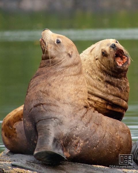 Sea Lions in Neets Bay