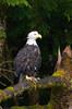 Bald Eagle by Neets Bay