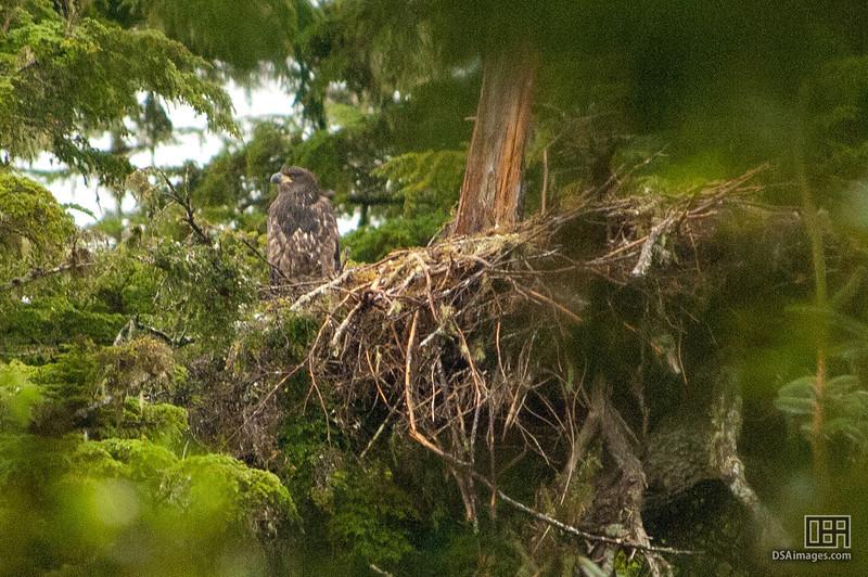 Bald Eagle nest and fledging near Lutak Inlet