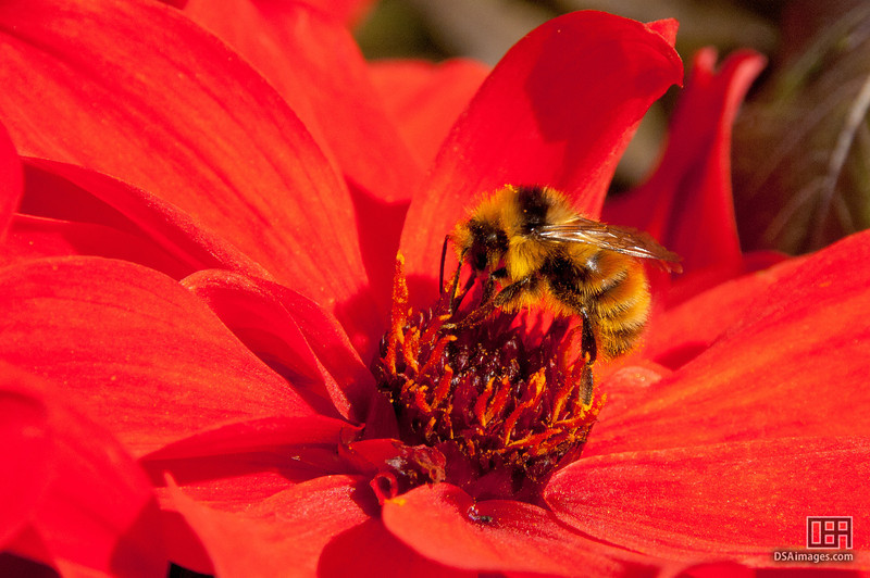 Bee on a flower in the Rose Garden at the Butchart Gardens