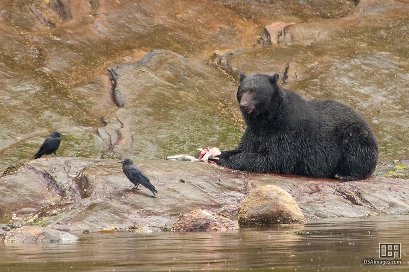 Black Bear by Neets Bay