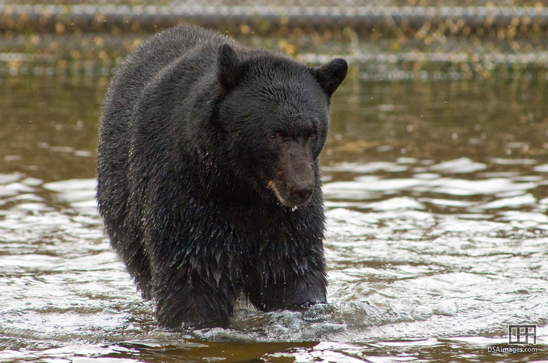 Black Bear trying to catch salmon by Neets Bay