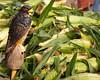 The corn protector at the Fruit Garden store near Okanagan