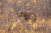 Grizzly Bear in the Denali National Park