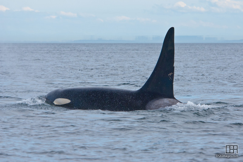 Orca (Killer Whale) in the waters off Victoria