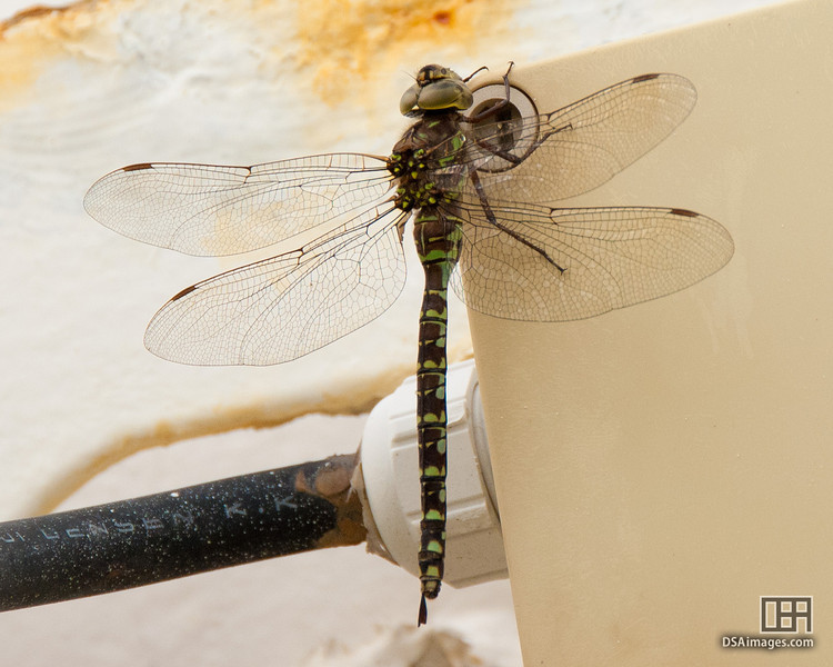 Dragonfly on the Sapphire Princess in Vancouver