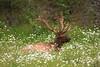 Canada - Deer in Jasper NP IMG_0578