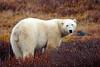 CANADA- Polar Bear at Churchill, Manitoba, NOV 2005