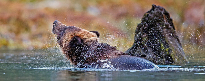 Grizzly shaking off water.