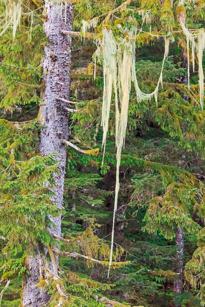 Moss hanging from tree in the Mussel River, British Columbia, Canada.