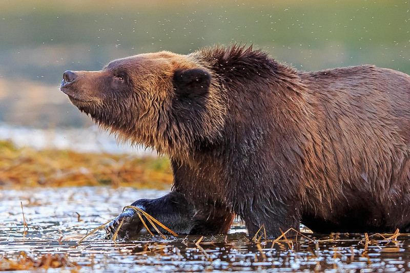 I love these flies grizzly bear,