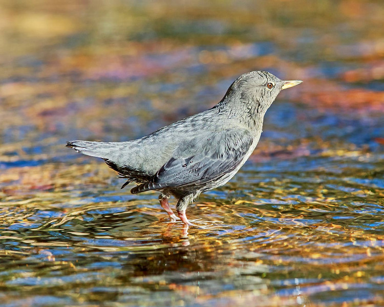 Dipper in the creek looking for a meal.  This bird can walk underwater by grabbing to stones as well as swin with its wings.