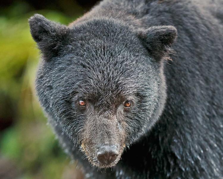 Black bear close; about 10 feet.